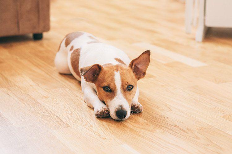 dog lay down on floor