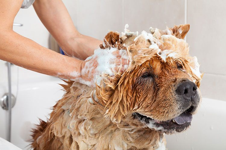 Dog Bathing With Shampoo