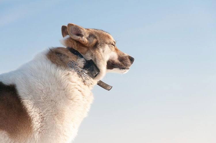 Dog With Shock Collar