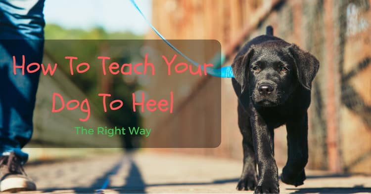 How To Teach Your Dog To Heel – The Right Way