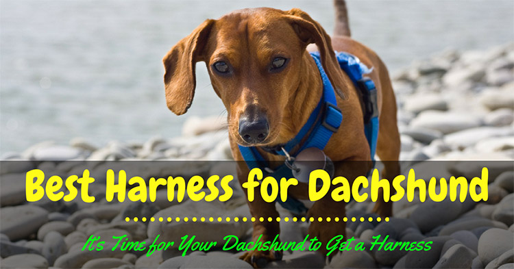 Best Harness for Dachshund 2018 – It's Time for Your Dachshund to Get a Harness