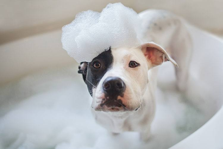 Pitbull loves bubble bath