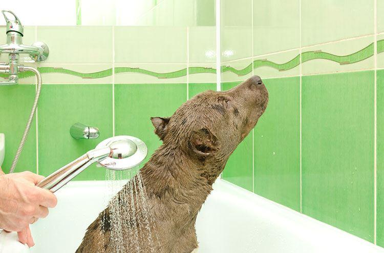 Pitbull dog getting a bath