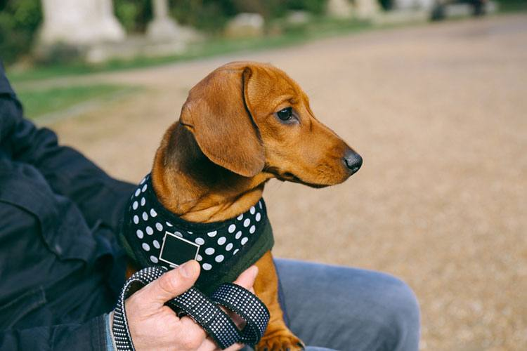 what look for dachshund harness
