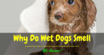 Why Do Wet Dogs Smell