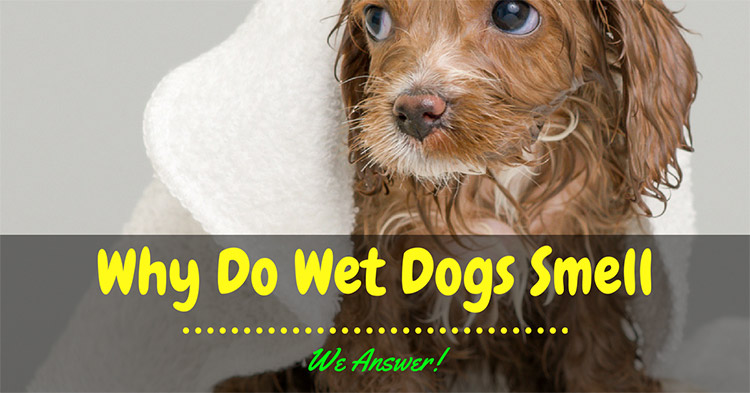 Why Do Wet Dogs Smell – We Answer!