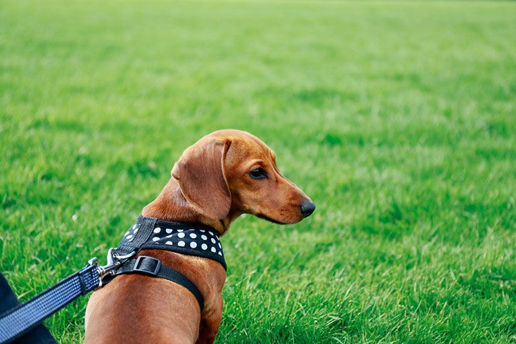 Why use harness for dachshund