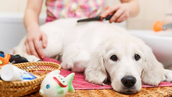 prepare to shave your dog hair