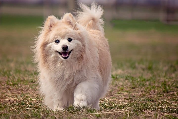 how to choose brush tool for pomeranian