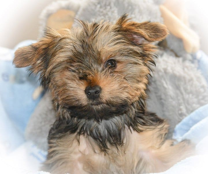 Yorkie cute puppy love