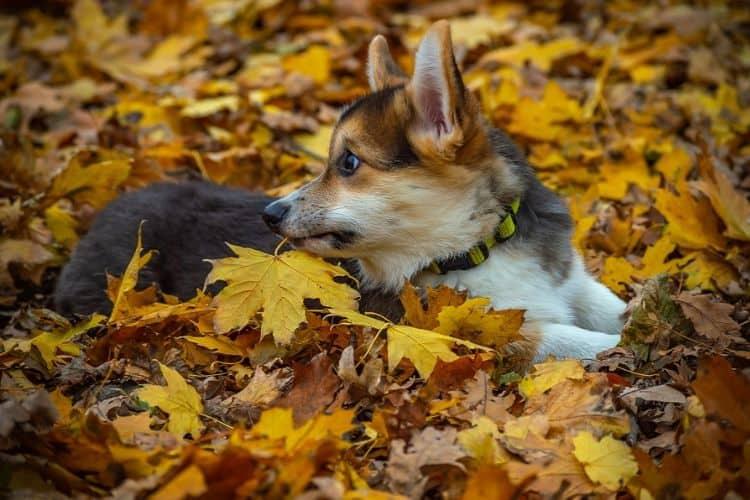 Cardigan Welsh Corgi on Autumn leaves