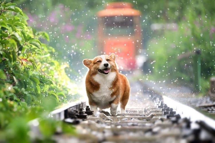 Corgi on rail