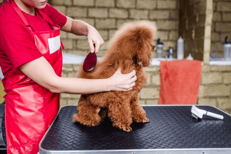 brushing miniature red poodle at grooming salon