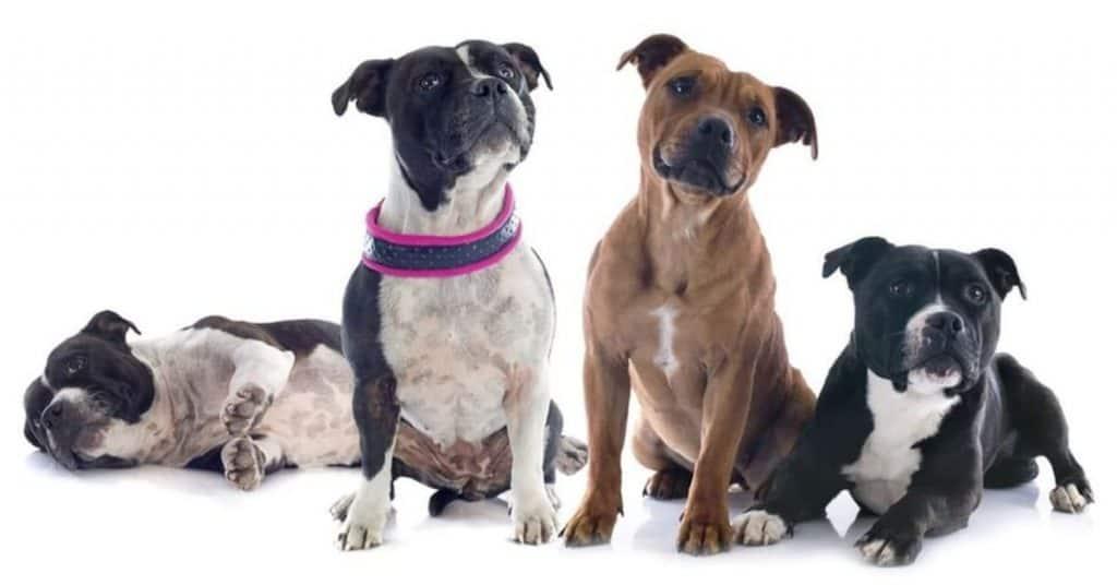 pit bull breed