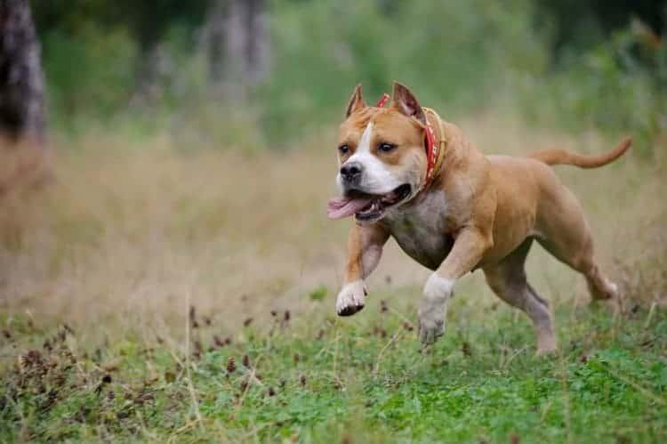 pit bull run on grass