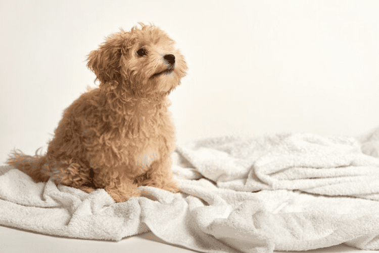 little poodle playing on a towel after bathing