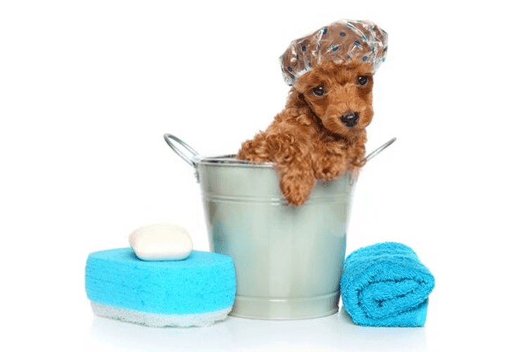 toy poodle puppy bathing