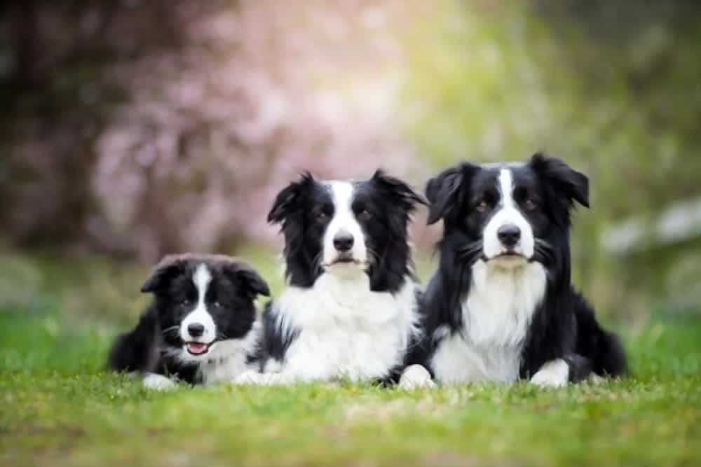 Black and white Border Collies family are laying on grass