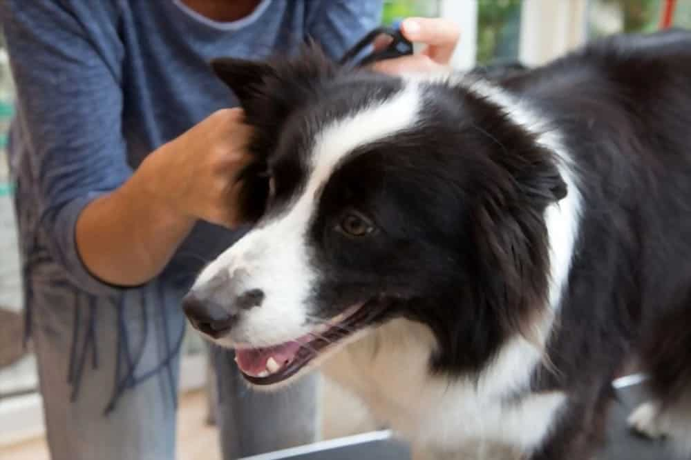 Grooming of Border Collie with grooming tools