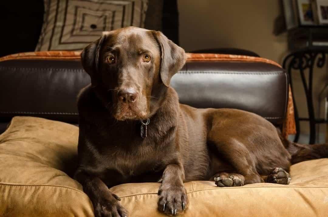 Labrador retriever is shedding in home