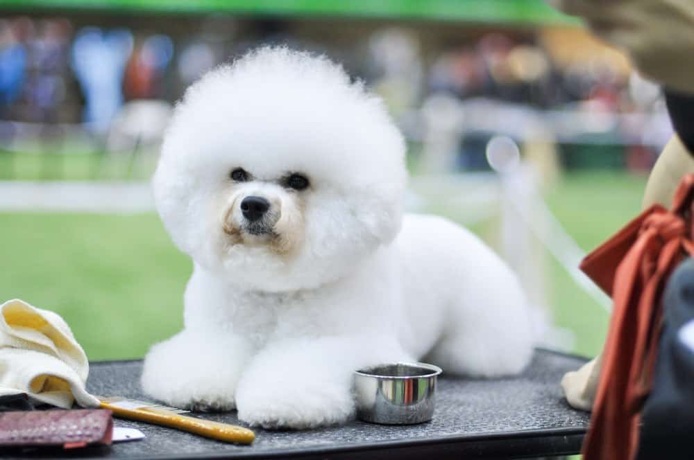 Best dog clippers for bichon frise