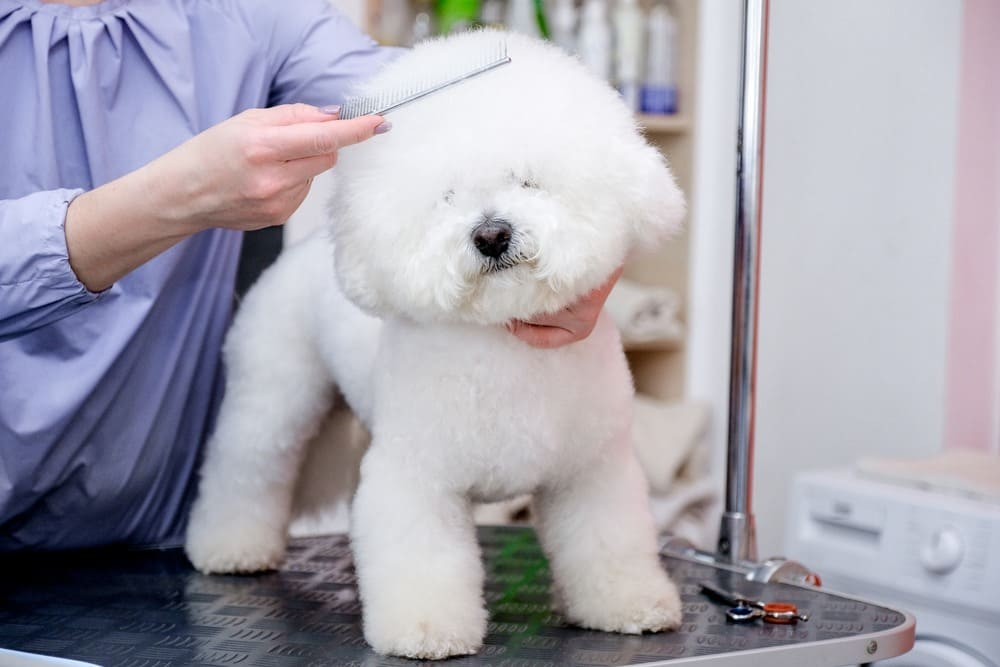 Grooming dogs Bichon Frise in a professional hairdresser