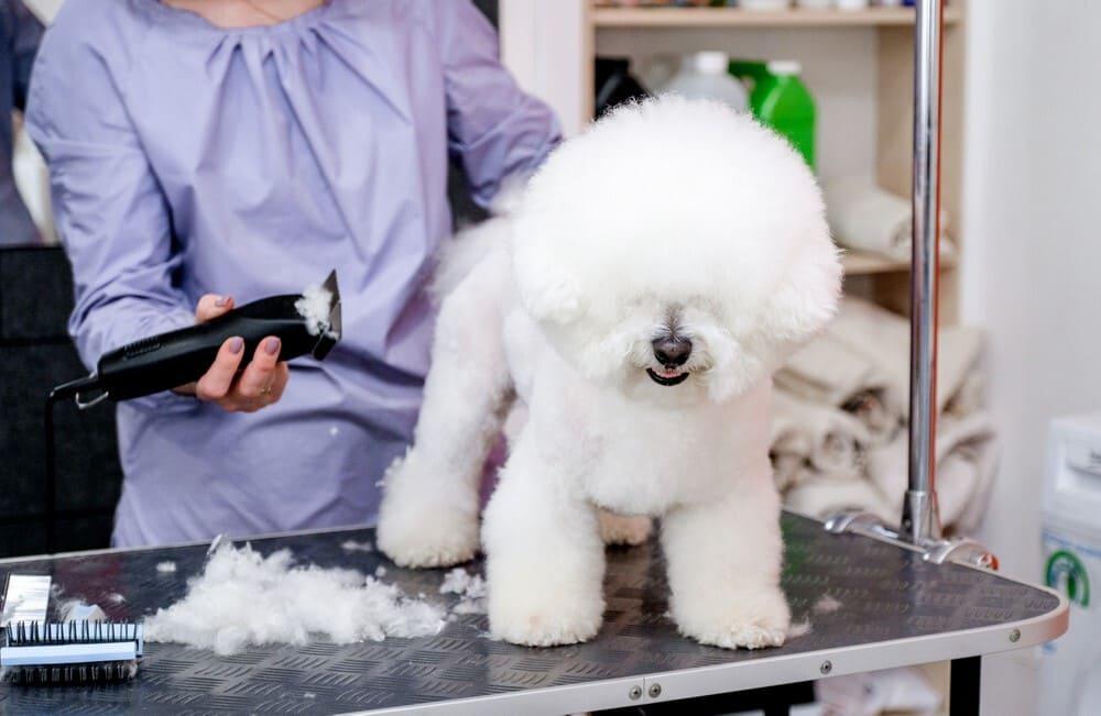 A white Bichon Frise is sheared in a hair salon.