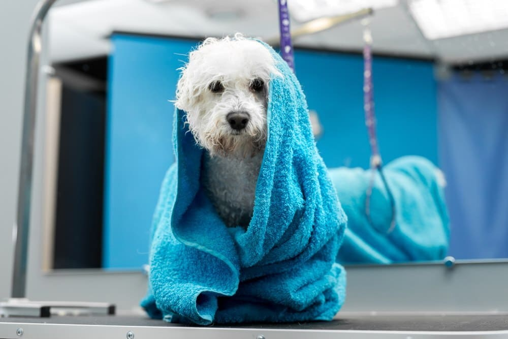 A wet Bichon Frise wrapped in a blue towel