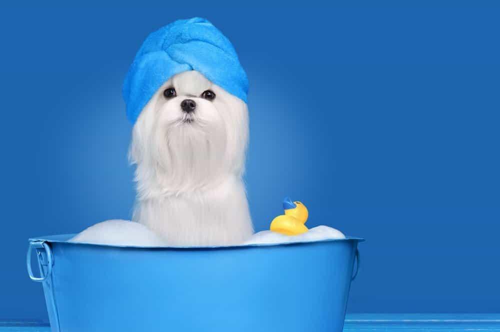 Best shampoo for Maltese