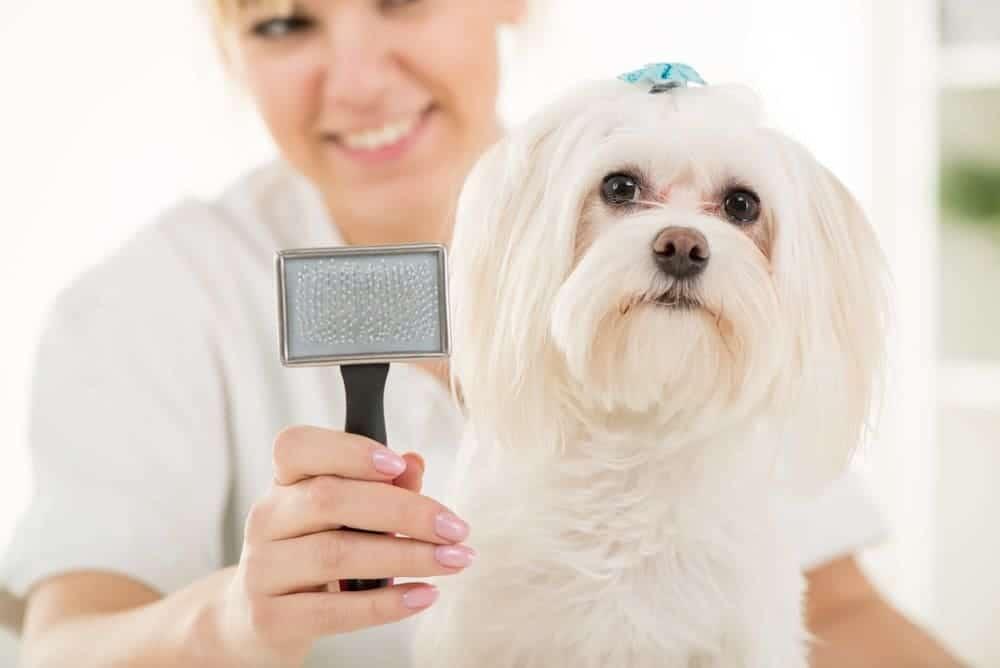 Maltese dog and animal brush