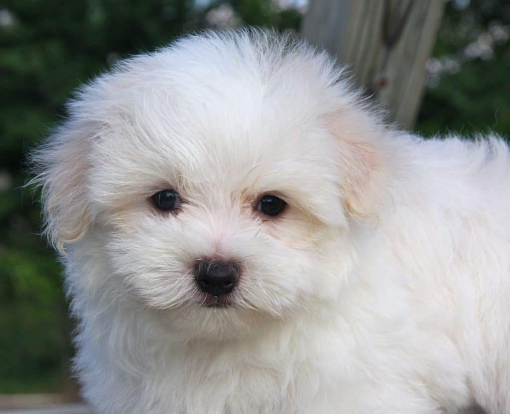 A cute maltese portrait