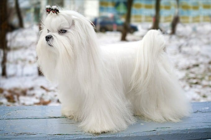 A maltese is in the park
