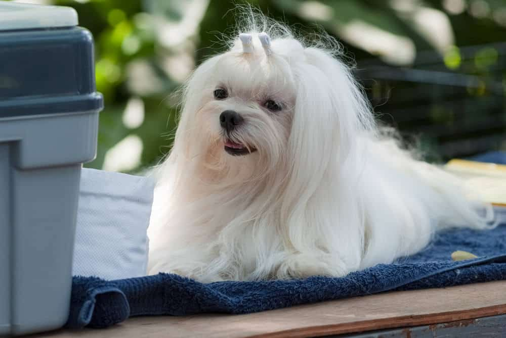 A maltese was getting a groom