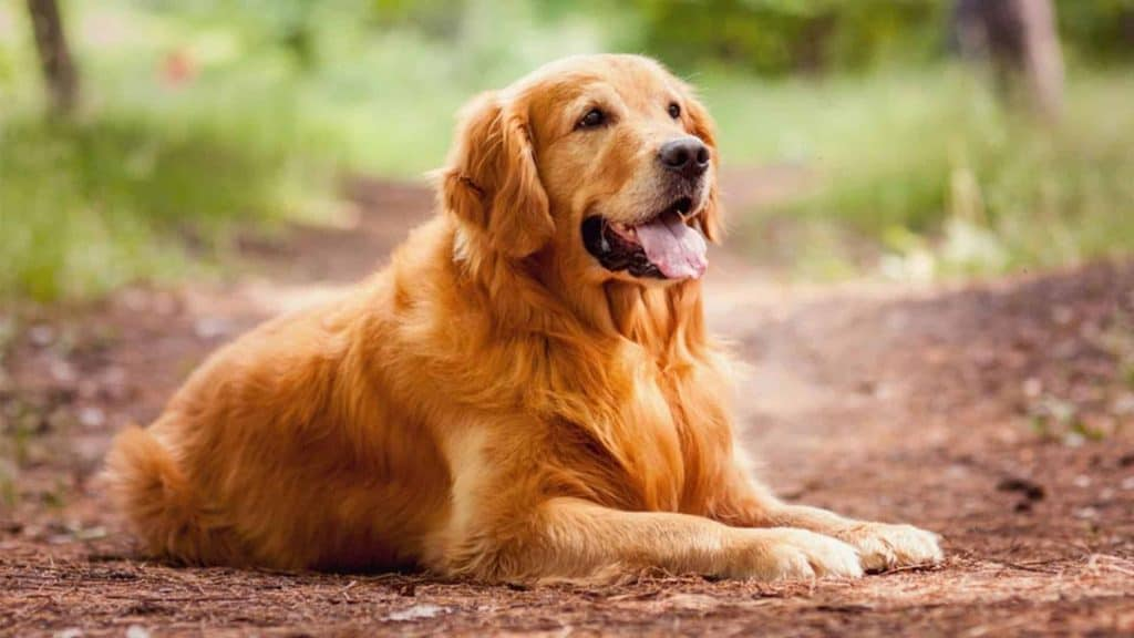 Best clippers for golden retriever