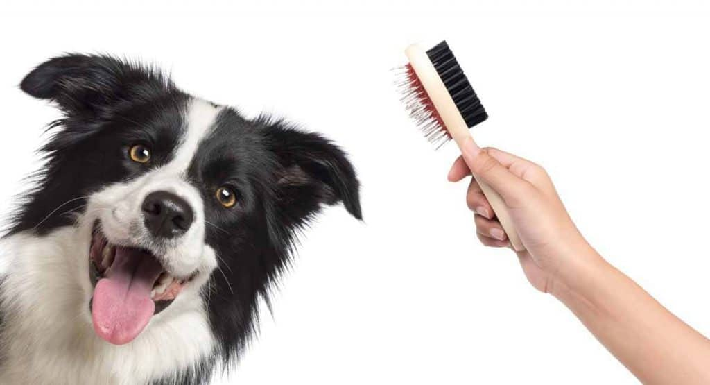 Grooming a Border Collie use a dog brush